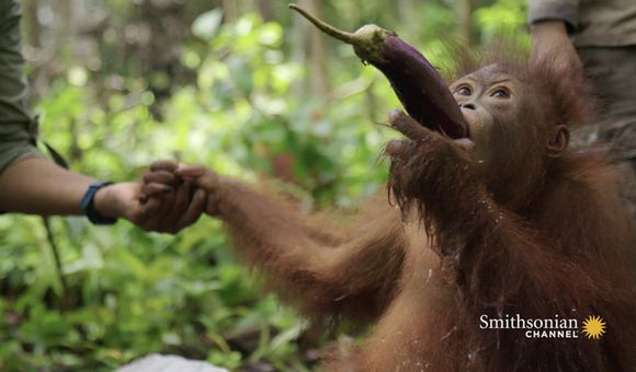 Preview thumbnail for video'Young Orangutan Learns How to Scoop Water
