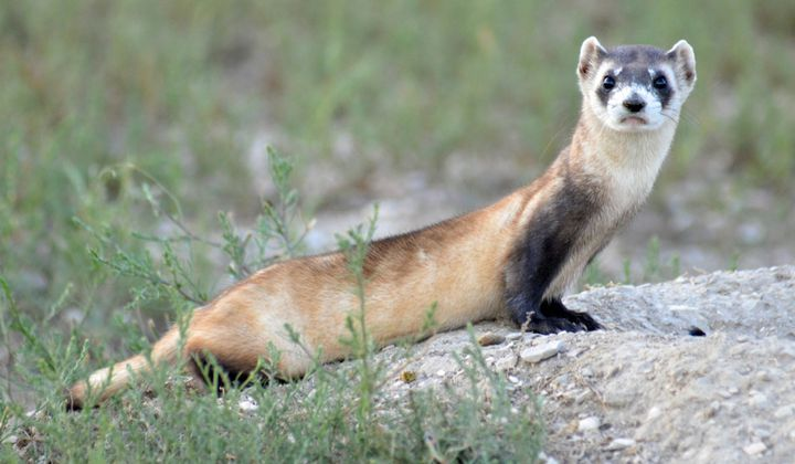Black-footed ferrets are well-suited for their prairie environment, where their colors help them blend in with grassland soils and plants.