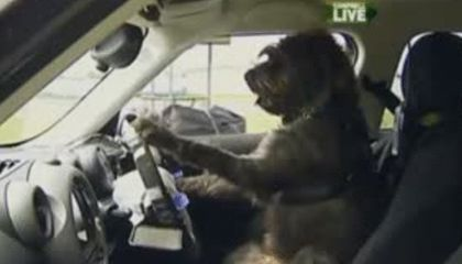In New Zealand, Dogs Are Being Taught How To Drive Cars