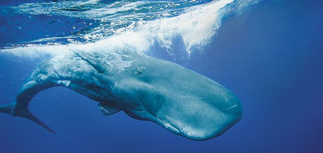 The Sperm Whale's Deadly Call | Science | Smithsonian