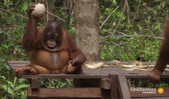 Preview thumbnail for video'Baby Orangutans Learn How to Crack Coconuts