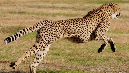 What Give Cheetahs The Edge In a Race With Greyhounds