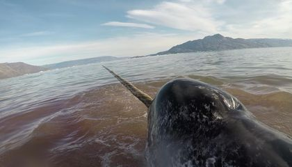 Narwhals Have a Strange Stress Response
