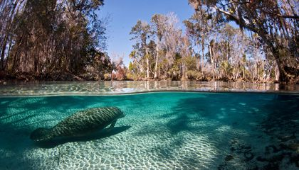 There's Only One Place in the United States Where It's Legal to Swim With Wild Manatees