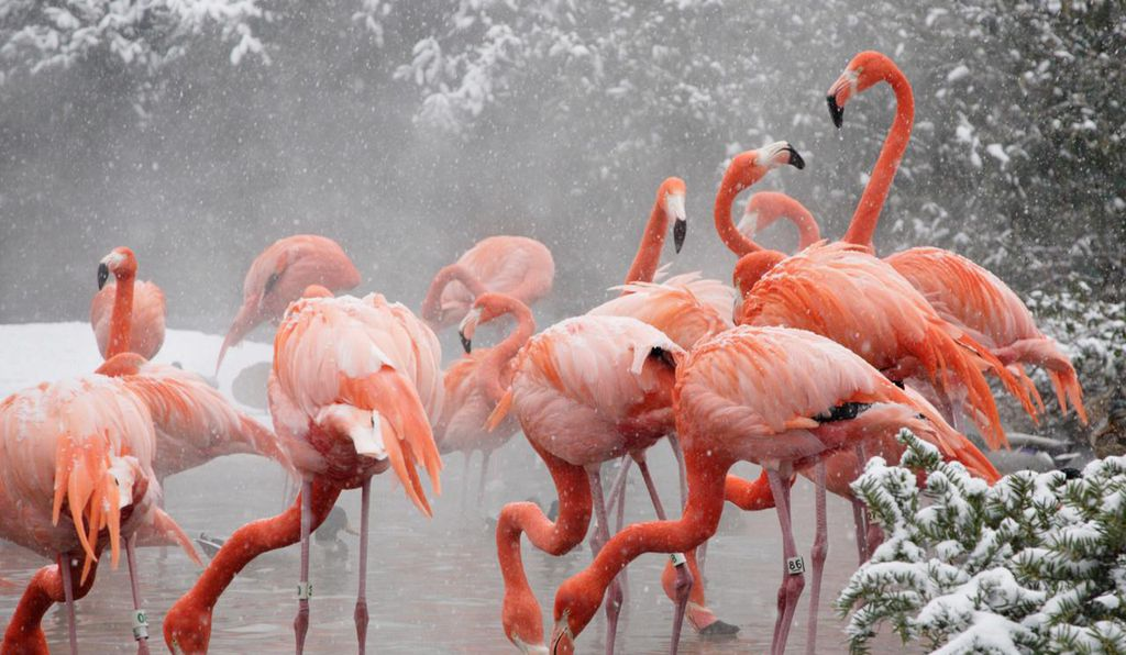 American flamingos perch in their hot tub at the National Zoo in the winter of 2009.