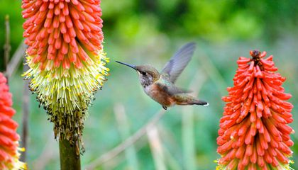 A rufous hummingbird preparing to feed at a torch lily.