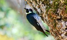These Woodpeckers' Bloody Wars Draw Crowds