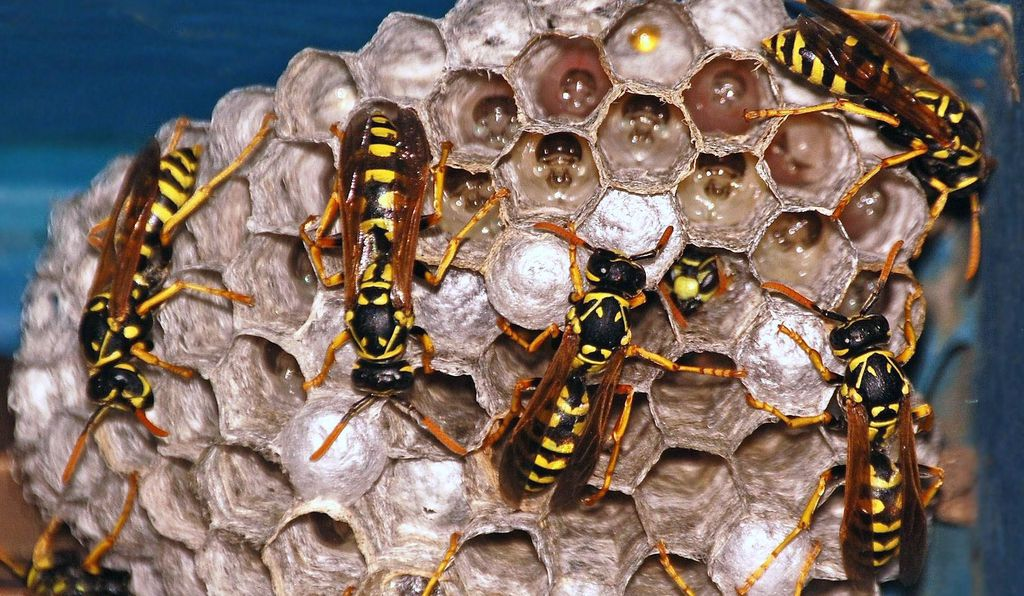 Hives of social wasps are led by queens that rule over a legion of mostly female workers. Sisters are more related to each other than mothers are to daughters, facilitating cooperation.