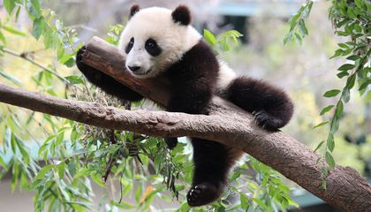 Panda Habitat Is Severely Fragmented, Placing Pandas at Risk