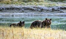 Protections for Grizzlies in the Greater Yellowstone Area Upheld in Court