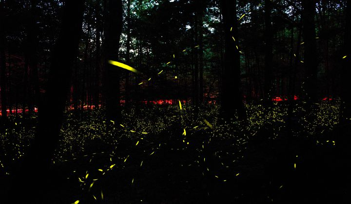 If You Want to See Thousands of Fireflies Light Up at Once, Head to the Great Smoky Mountains