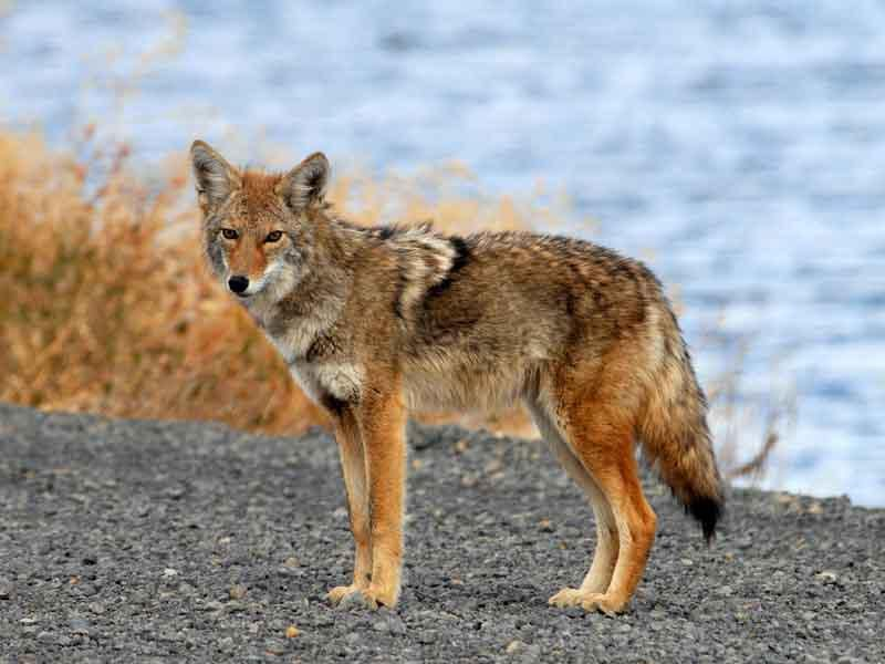 Coyotes Poised to Infiltrate South America