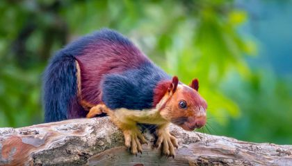 Yes, Giant Technicolor Squirrels Actually Roam the Forests of Southern India