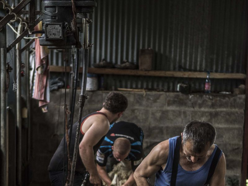 "Part of the series ""Honest Agriculture"" this photograph documents the working lives of farmers and workers in the surrounding valley where my own family farm resides, In this shot we see a sheerer in a barn holding a ewe before he starts to remove her fleece."