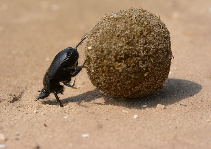 Caption: All Praise The Humble Dung Beetle