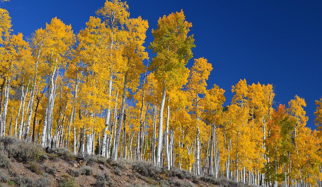 This quaking aspen grove in Utah is one of the world's largest living organisms.