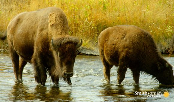 Preview thumbnail for video'Why the U.S. Army Guarded the 23 Remaining American Buffalo