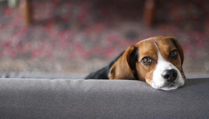 Doggonit: Genes That Make Fido Human Friendly Also Linked to Mental Disorders