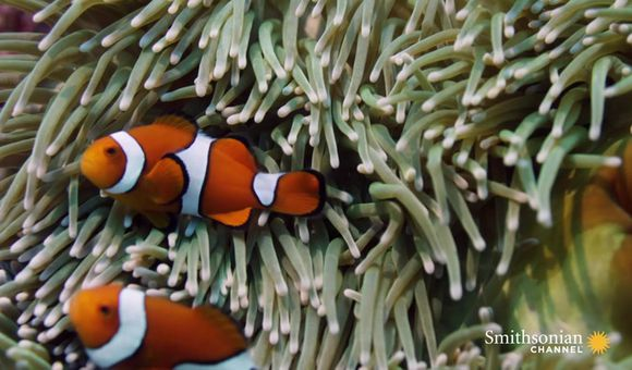 Preview thumbnail for video'Never-Before-Seen Footage of Clownfish Hatching