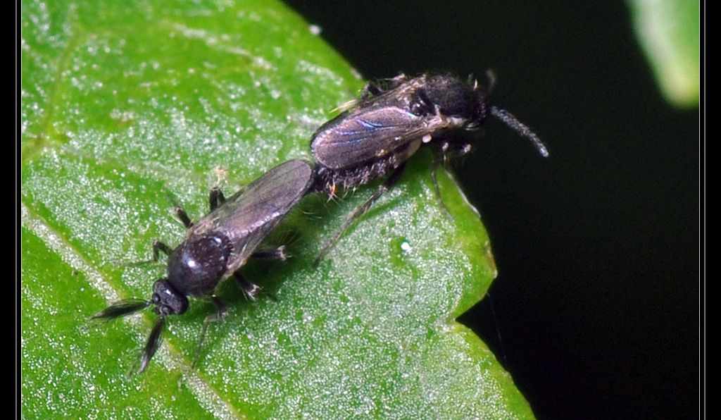 A mating pair of <em>Forcipomyia</em> midges.