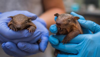 "Once You See These Brand New ""Screaming Armadillo"" Pups, You'll Be Screaming Too"