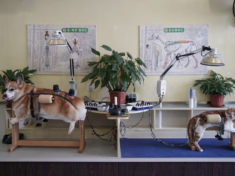 A dog and a cat receive treatment at Shanghai TCM (Traditional Chinese Medicine) Neurology and Acupuncture Animal Health Center, which specialises in acupuncture and moxibustion treatment for animals, in Shanghai, Aug 9,2017.