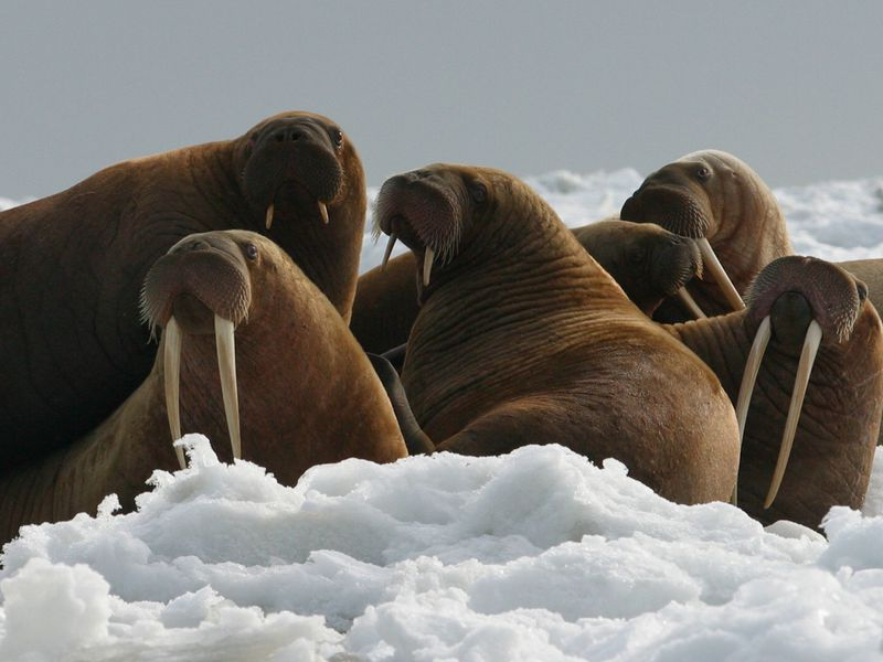 walrus on ice