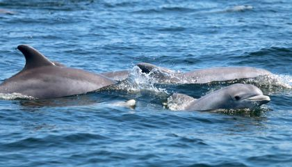 Dolphins Are Finally Living and Breeding in the Potomac River Again