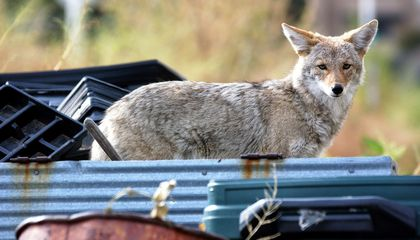 Urban Coyotes Eat a Lot of Garbage—and Cats