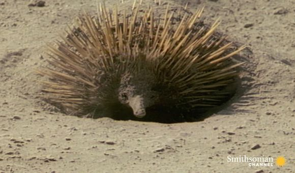 Preview thumbnail for video'Meet the Echidna, an Incredible, Fire-Proof Spiny Anteater