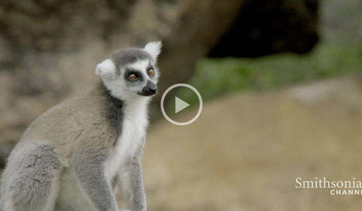 This Leaping Lemur Lady Rules The Bunch