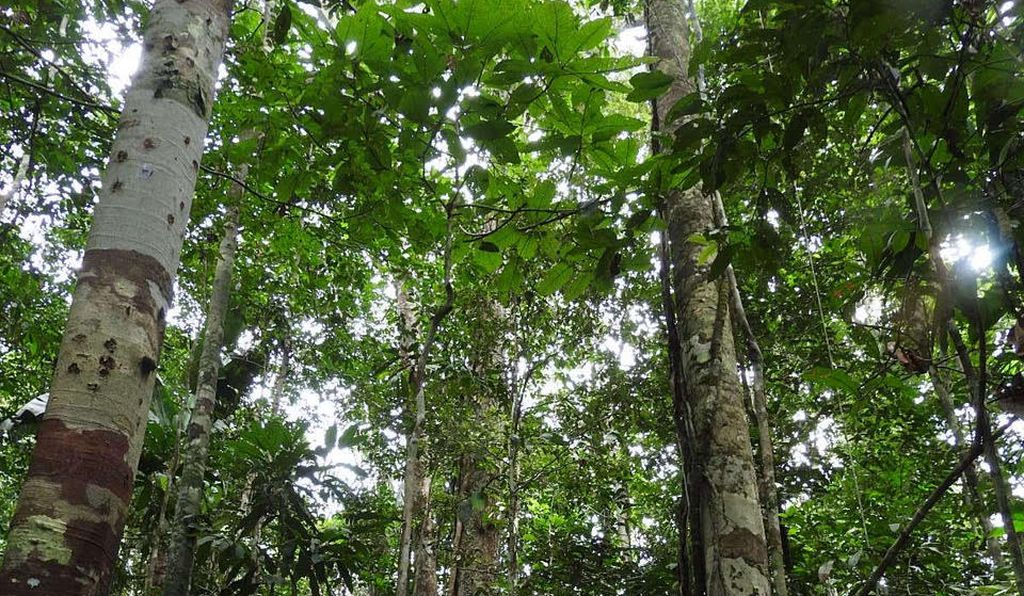 The researchers also conducted surveys of the modern forests and found a dizzying diversity in the region; their inventory yielded 550 tree species and 1,300 other species of plants.