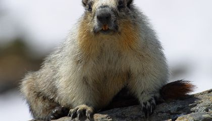 Marmots Live Longer When They Are Antisocial