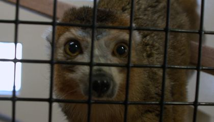 These Adorable Lemurs Are On the Verge of Extinction