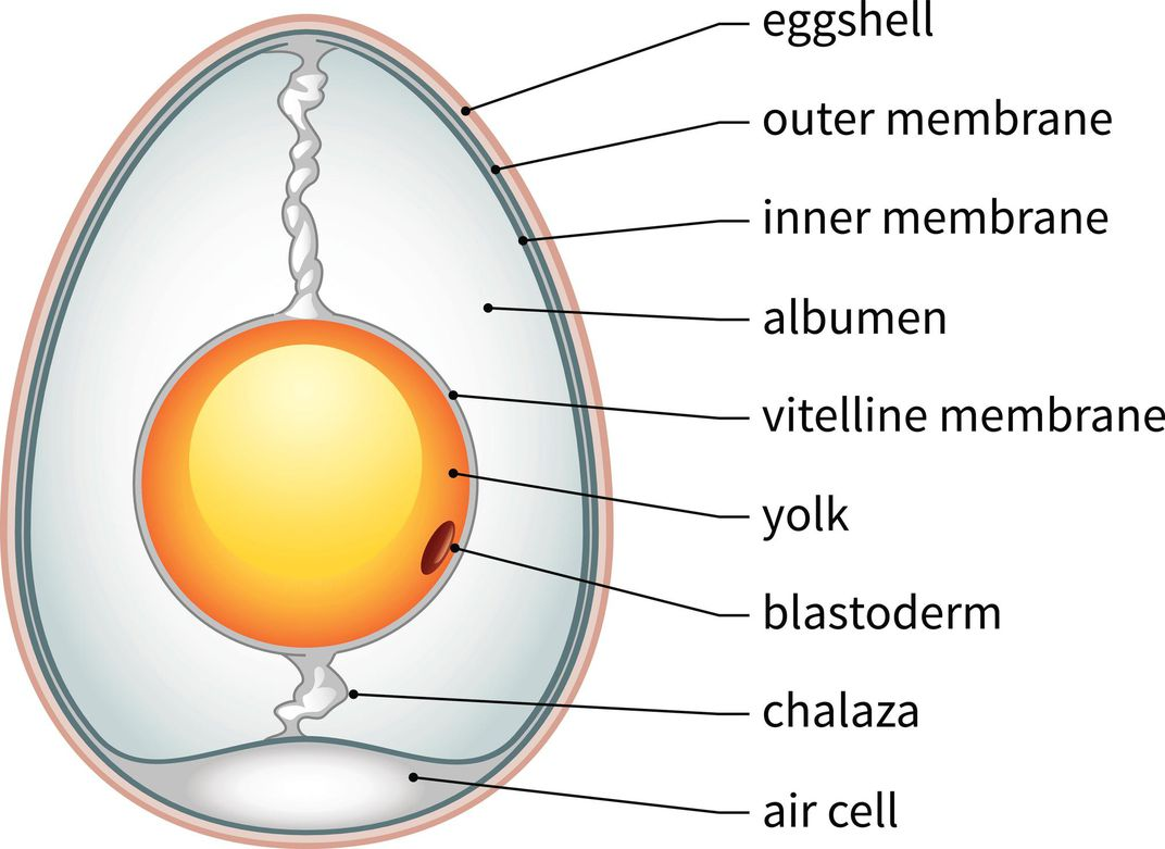 Womans Diagram Of An Egg