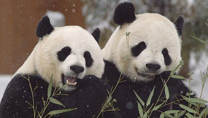 How Does Science Help Pandas Make More Panda Babies?