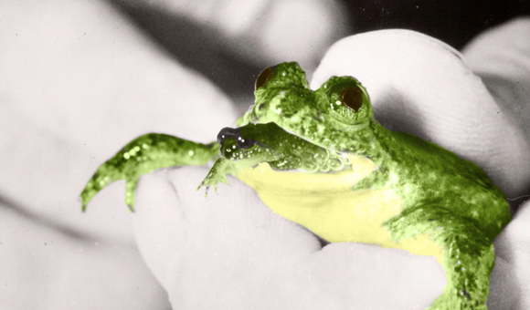 Preview thumbnail for video'SmartNews: Extinct Frog Resurrected