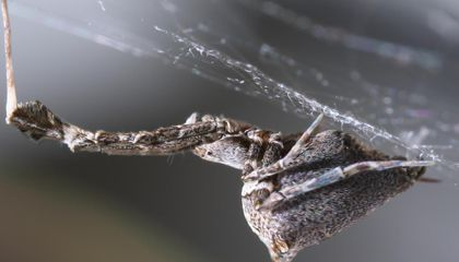 Spiders Spin Electrically Charged Silk To Make It Sticky