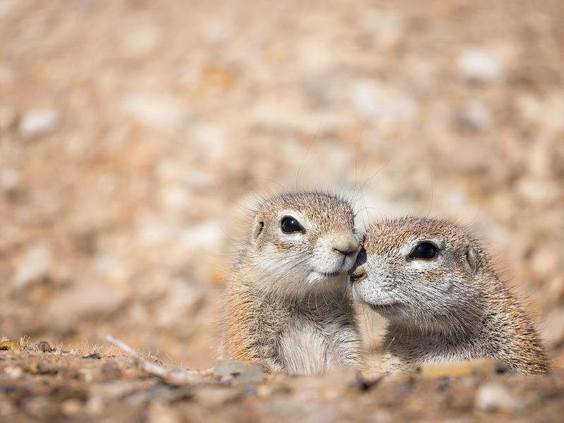 Intimate moment with these amazing ground squirrels. They are hidden in holes in the ground.