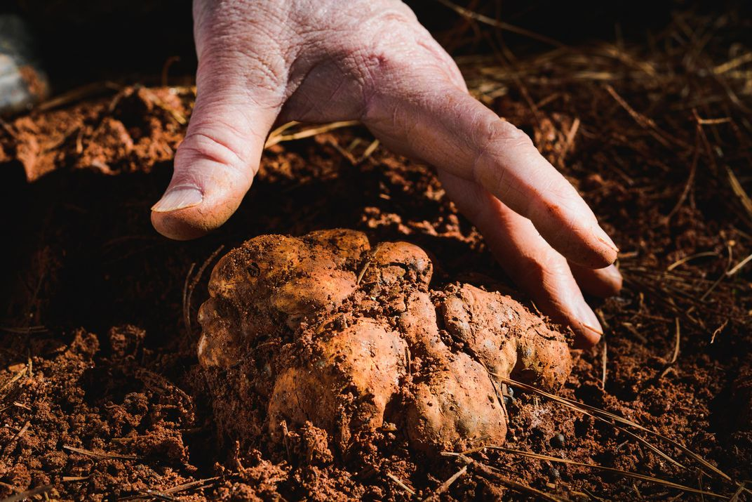 large bianchetto truffle in the ground