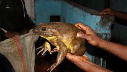 How Did the World's Largest Frog Get So Big? Possibly by Building Its Own Ponds