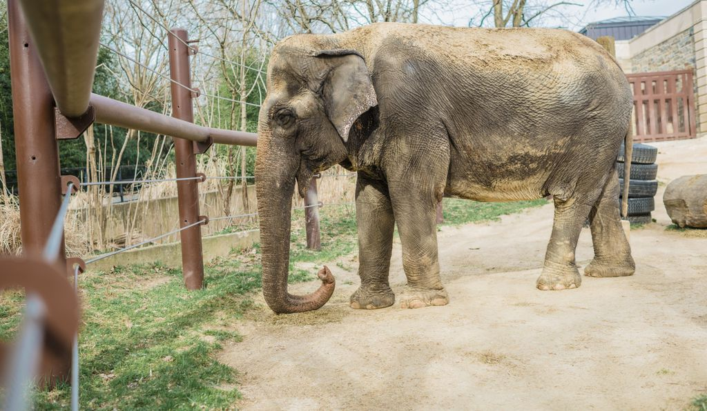 Ambika's euthanasia took place in the Elephant Barn. The Zoo's other elephants Shanthi and Bozie, who had long bonded with the elderly female, were not present for the procedure, but were offered time to be with their deceased herd mate.