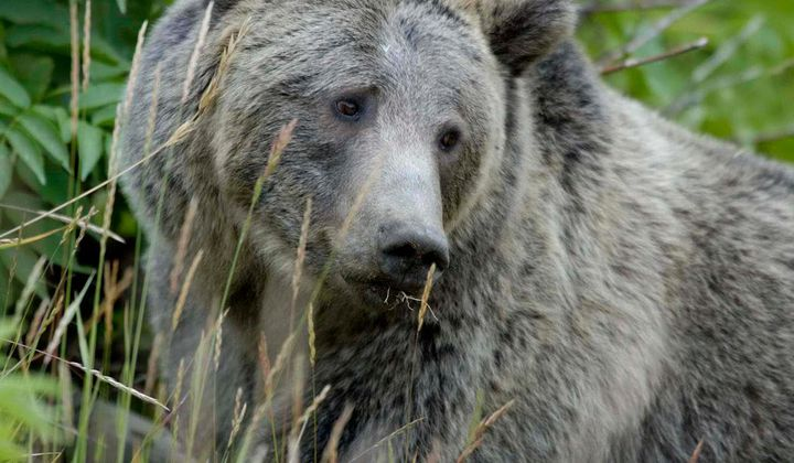 Wyoming Will Allow Yellowstone Grizzly Hunting