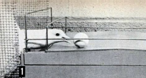 Psychologist B.F. Skinner taught these pigeons to play ping-pong in 1950.