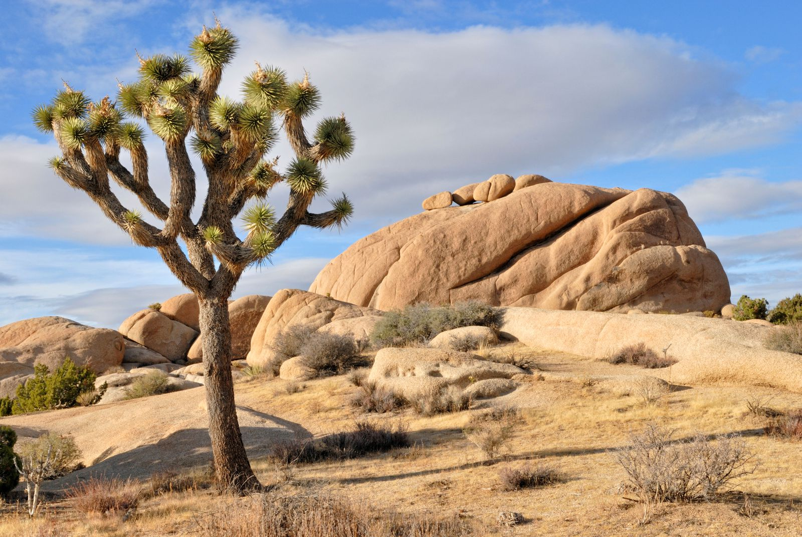 How A Tree And Its Moth Shaped The Mojave Desert Science