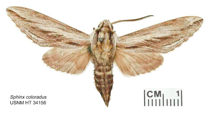 Brown moth on a white background.