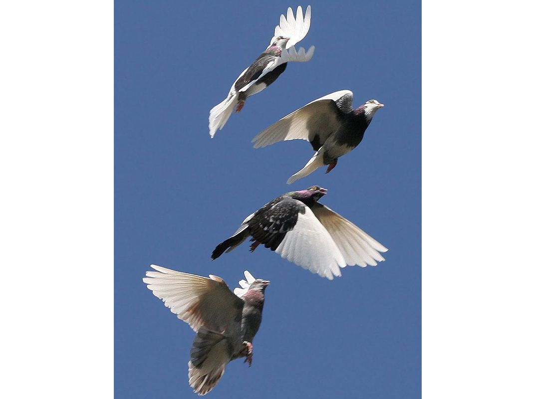 800px-Domestic_Pigeon_Flock.jpg