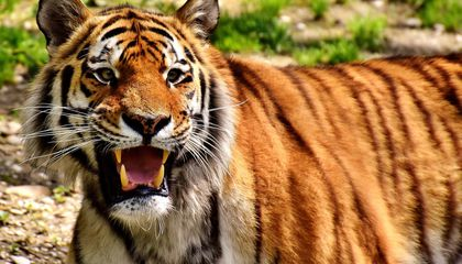 Man-Eating Tigress Killed in India, Lured by Calvin Klein Cologne