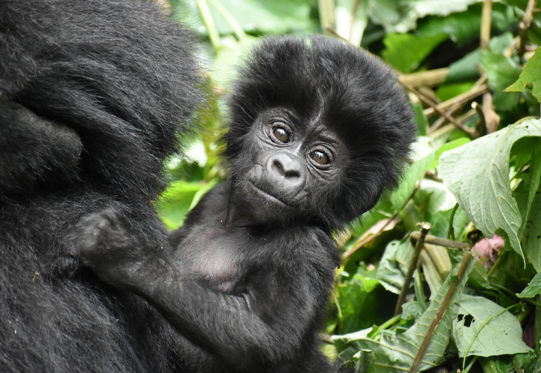 Endangered Mountain Gorilla Populations Are Growing
