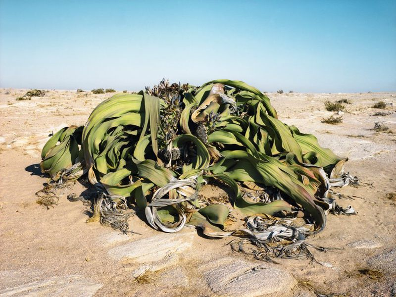 Welwitschia mirablis